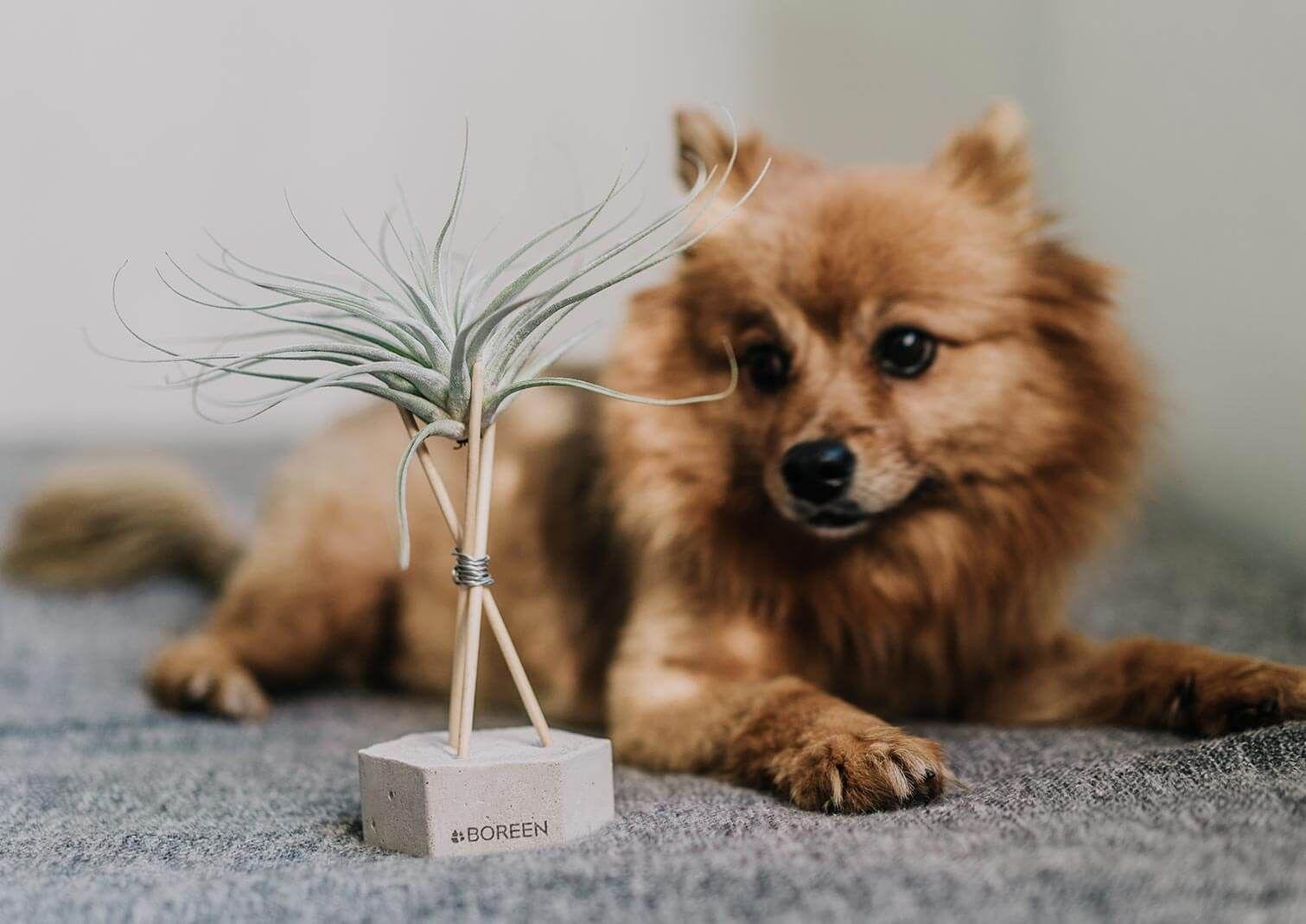 Son toxicas las plantas de aire para nuestras mascotas