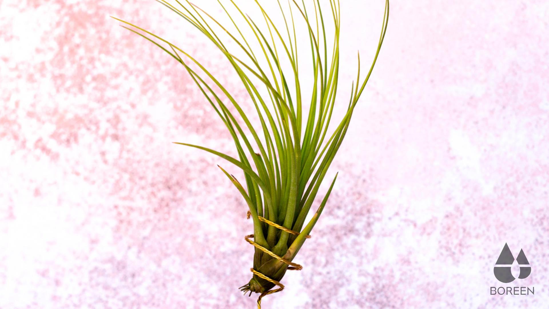 Consejos para cuidar las plantas de aire filiformes