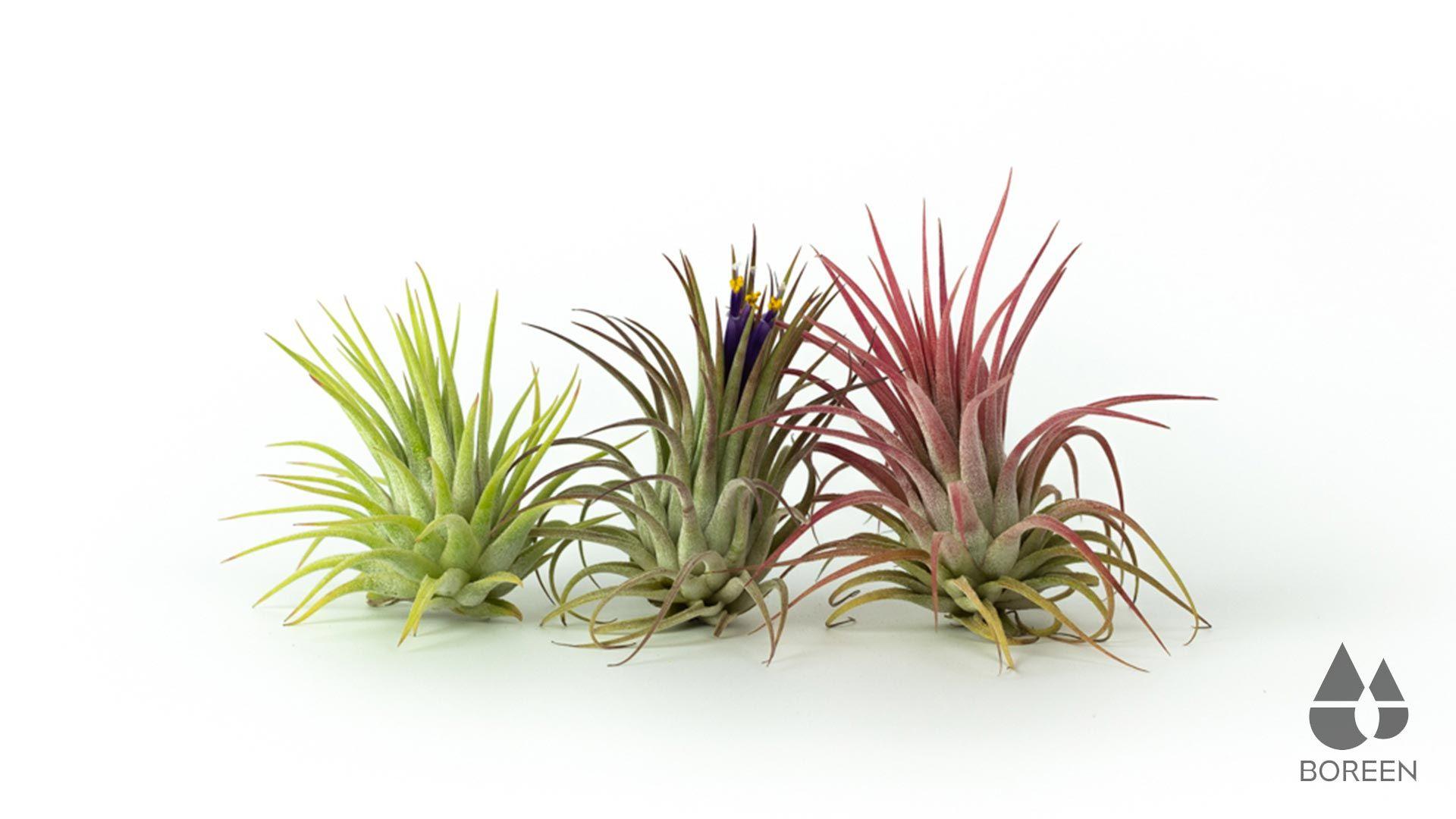 Plantas de aire Boreen
