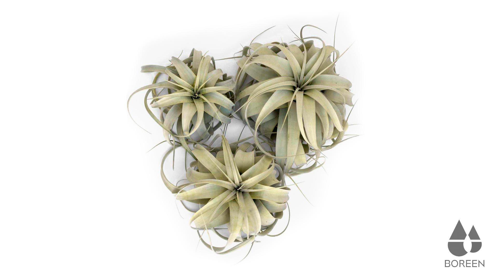 Planta tillandsia Xerographica