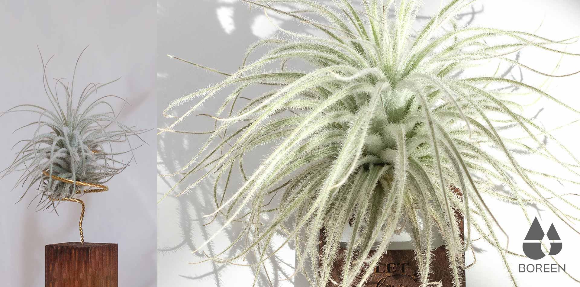 Plantas de aire xéricas