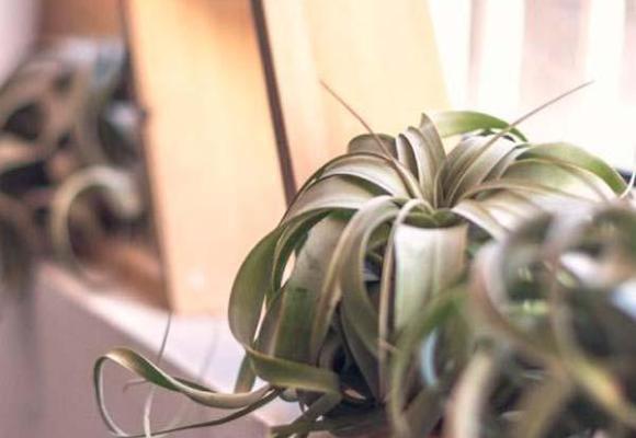 Tillandsia Xerographica: La Reina de las plantas de aire